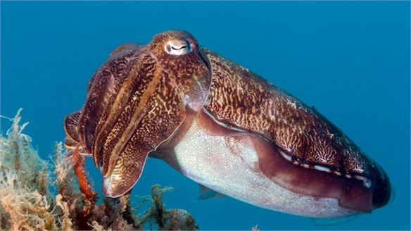 Edible Cuttlefish Batteries