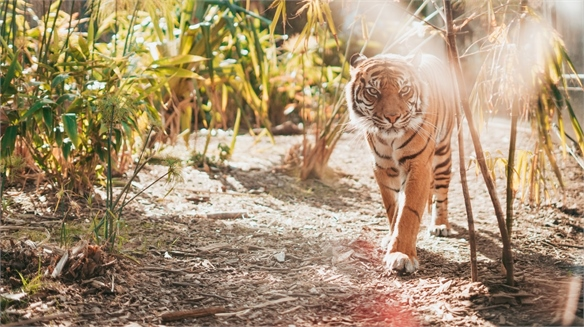 Crime-Fighting Algorithm Will Help Prevent Tiger Extinction