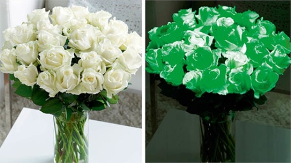 Glow-in-the-Dark Roses by Interflora