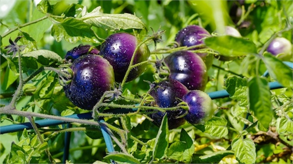 Health-Boosting Hybrid Tomatoes